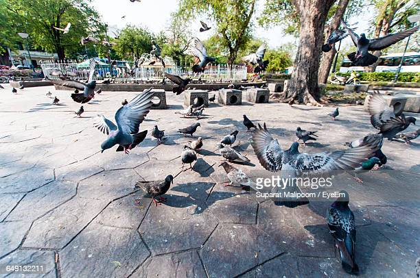 high angle view of pigeons at paved walkway in park - pigeon stock pictures, royalty-free photos & images