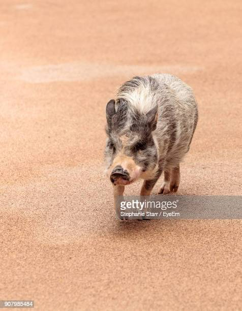 High Angle View Of Piglet Walking On Sand