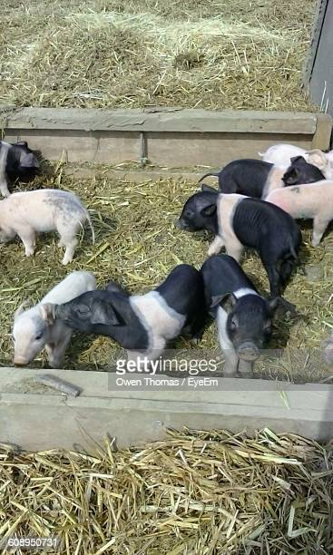 High Angle View Of Piglets At Ranch