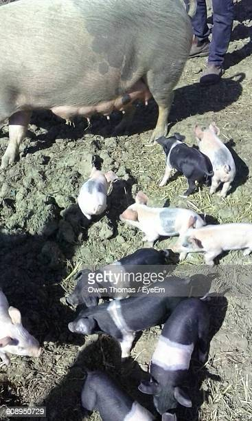 High Angle View Of Piglets With Pig At Ranch