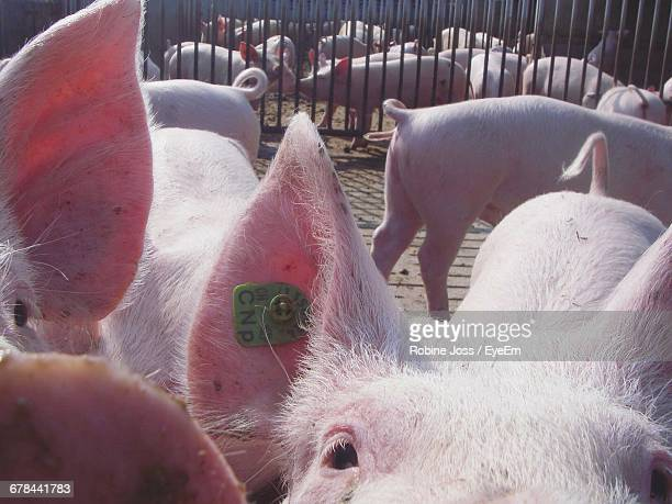 High Angle View Of Pigs At Farm