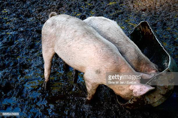 High Angle View Of Pigs In Mud, Eating From Trough