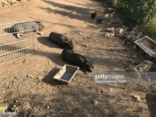 high angle view of pigs resting at farm - pigs trough stock pictures, royalty-free photos & images