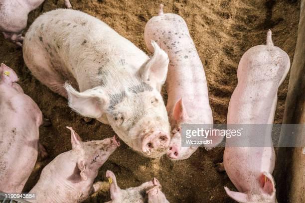 high angle view of pigs standing in pigpen - nutztier stock-fotos und bilder