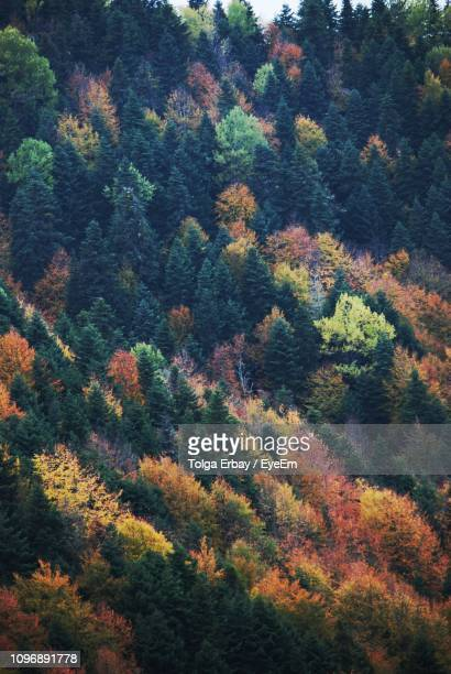 high angle view of pine trees in forest during autumn - tolga erbay stock photos and pictures