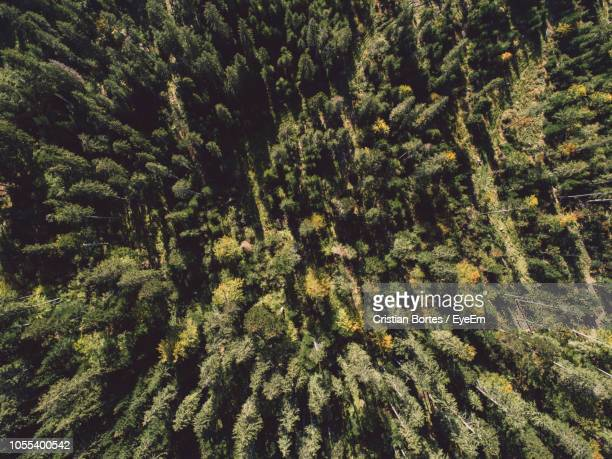 high angle view of pine trees in forest - bortes stock-fotos und bilder