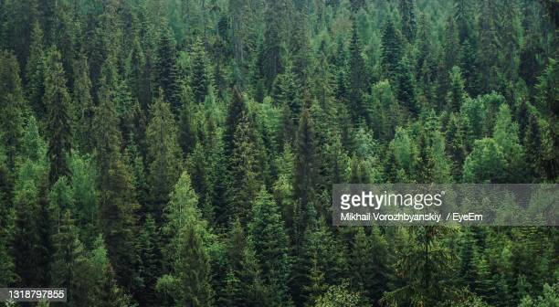 high angle view of pine trees in forest - poland stock pictures, royalty-free photos & images