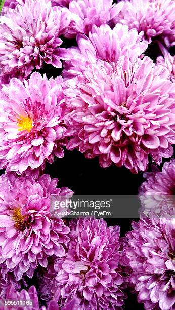 High Angle View Of Pink Chrysanthemum Blooming Outdoors