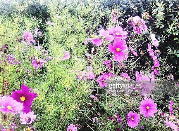 High Angle View Of Pink Cosmos Blooming Outdoors