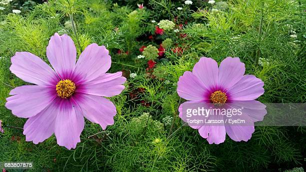 High Angle View Of Pink Cosmos Flower