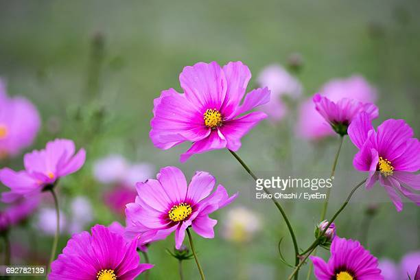 High Angle View Of Pink Cosmos Flowers Blooming At Park