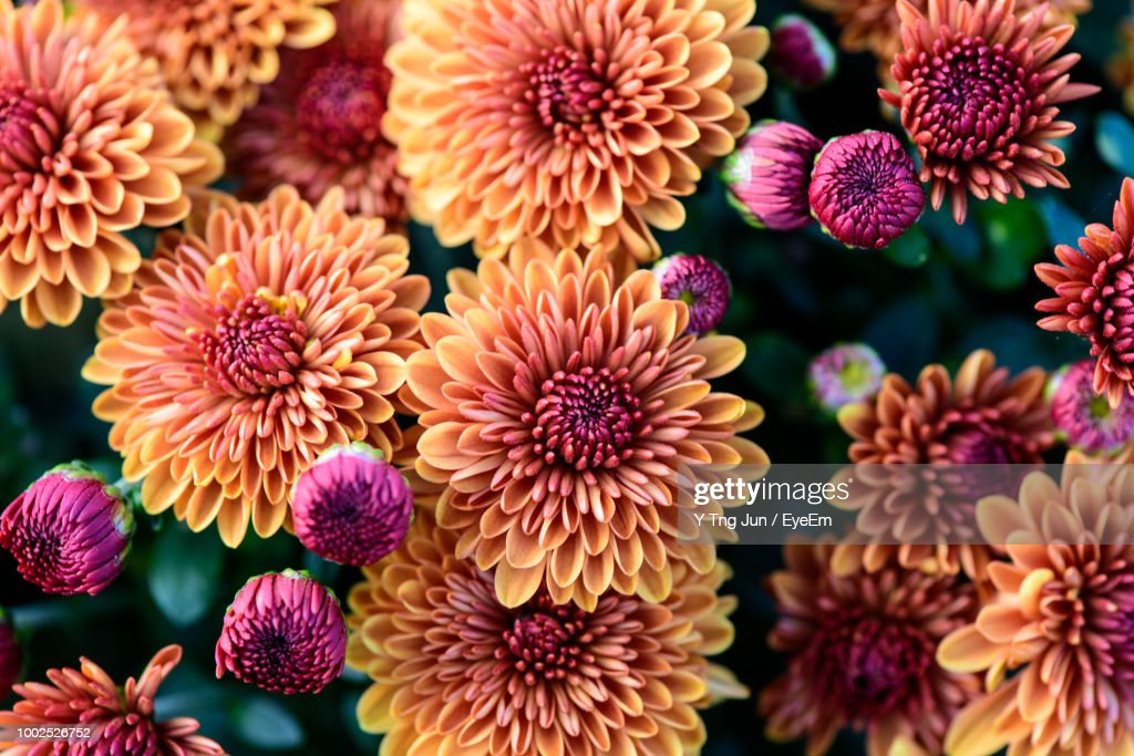 High Angle View Of Pink Dahlia Flowers : Stock-Foto