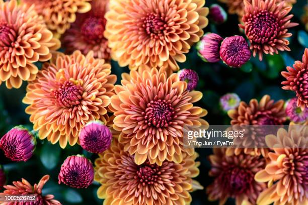 high angle view of pink dahlia flowers - chrysanthemum imagens e fotografias de stock