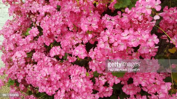 high angle view of pink flowering plant - flowering plant stock photos and pictures