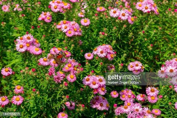 high angle view of pink flowering plants on field,cornwall,united kingdom,uk - norbert zingel stock-fotos und bilder