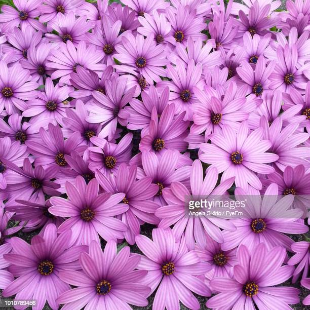 high angle view of pink flowering plants - violet photos et images de collection