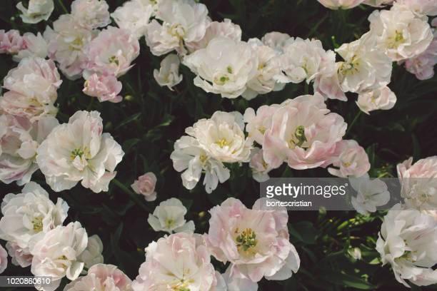 high angle view of pink flowering plants - bortes stockfoto's en -beelden