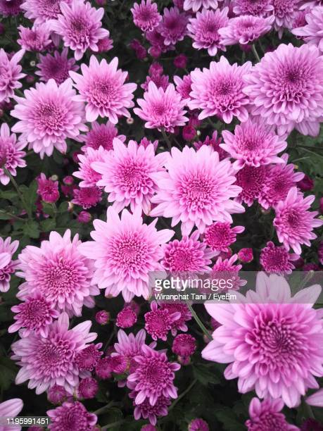 high angle view of pink flowering plants - chrysanthemum stock pictures, royalty-free photos & images