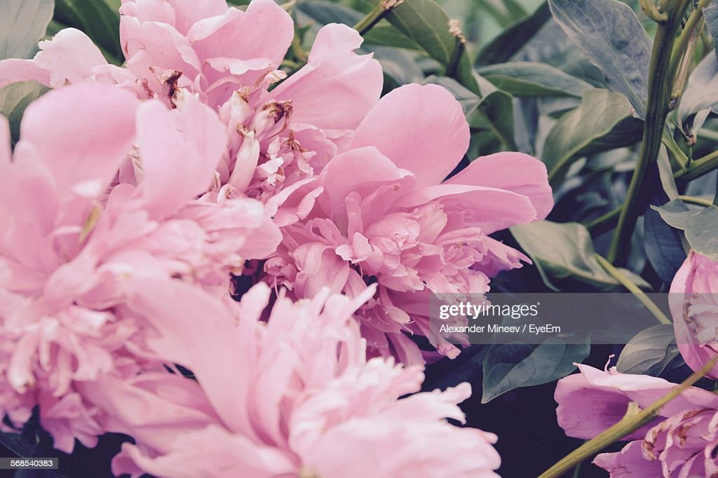 High Angle View Of Pink Flowers Blooming In Garden : Stock Photo