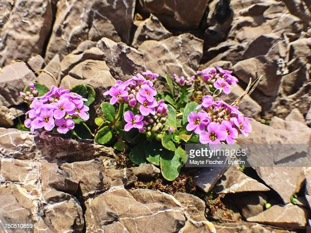 High Angle View Of Pink Flowers Blooming On Rock