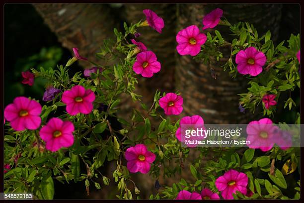 high angle view of pink flowers on field - transferbild stock-fotos und bilder