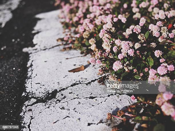 High Angle View Of Pink Flowers On Roadside