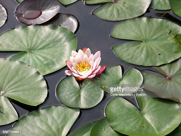 high angle view of pink lotus water lily blooming in pond - ninfea foto e immagini stock