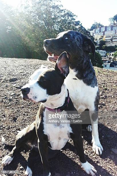 high angle view of pit bull terrier and catahoula leopard dog sitting on field - catahoula leopard dog stock photos and pictures