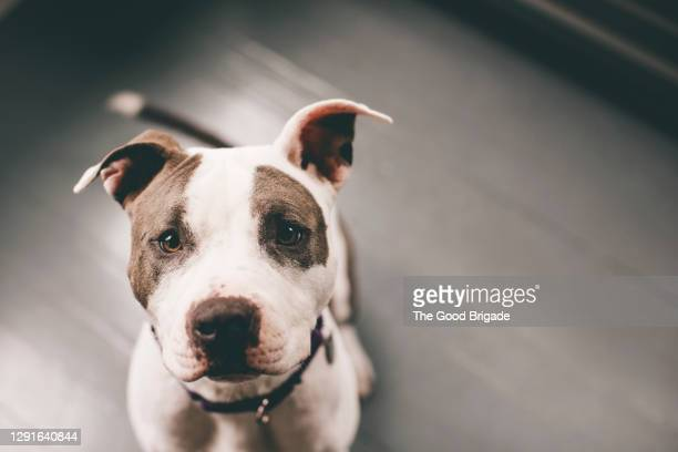 high angle view of pitbull sitting on floor at home - pit bull terrier stock pictures, royalty-free photos & images