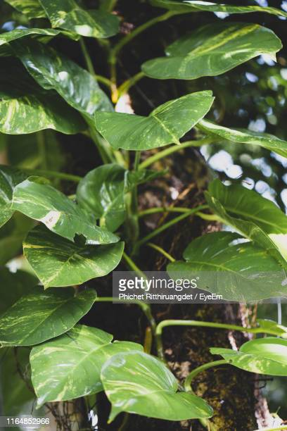 high angle view of plant growing on field - phichet ritthiruangdet stock photos and pictures