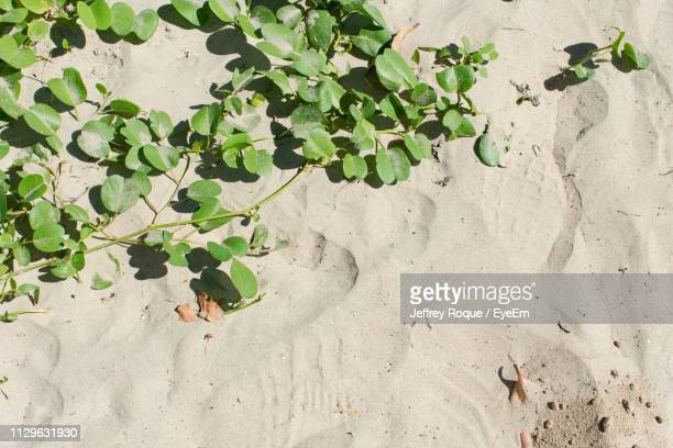 high angle view of plant on sand - jeffrey roque stock photos and pictures