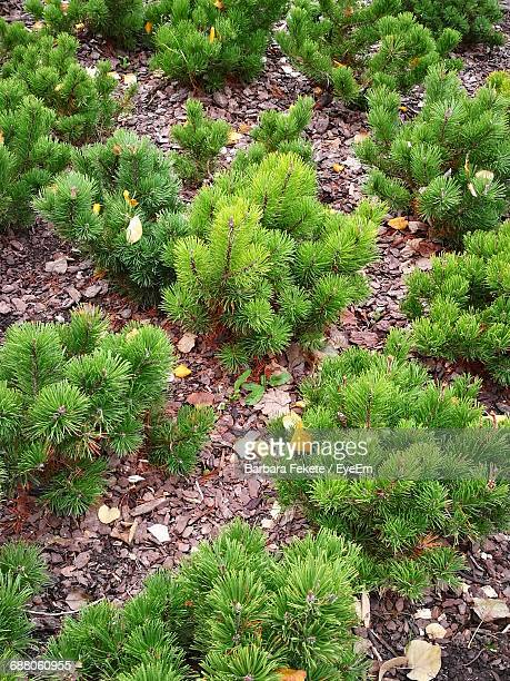 High Angle View Of Planted Pine Trees