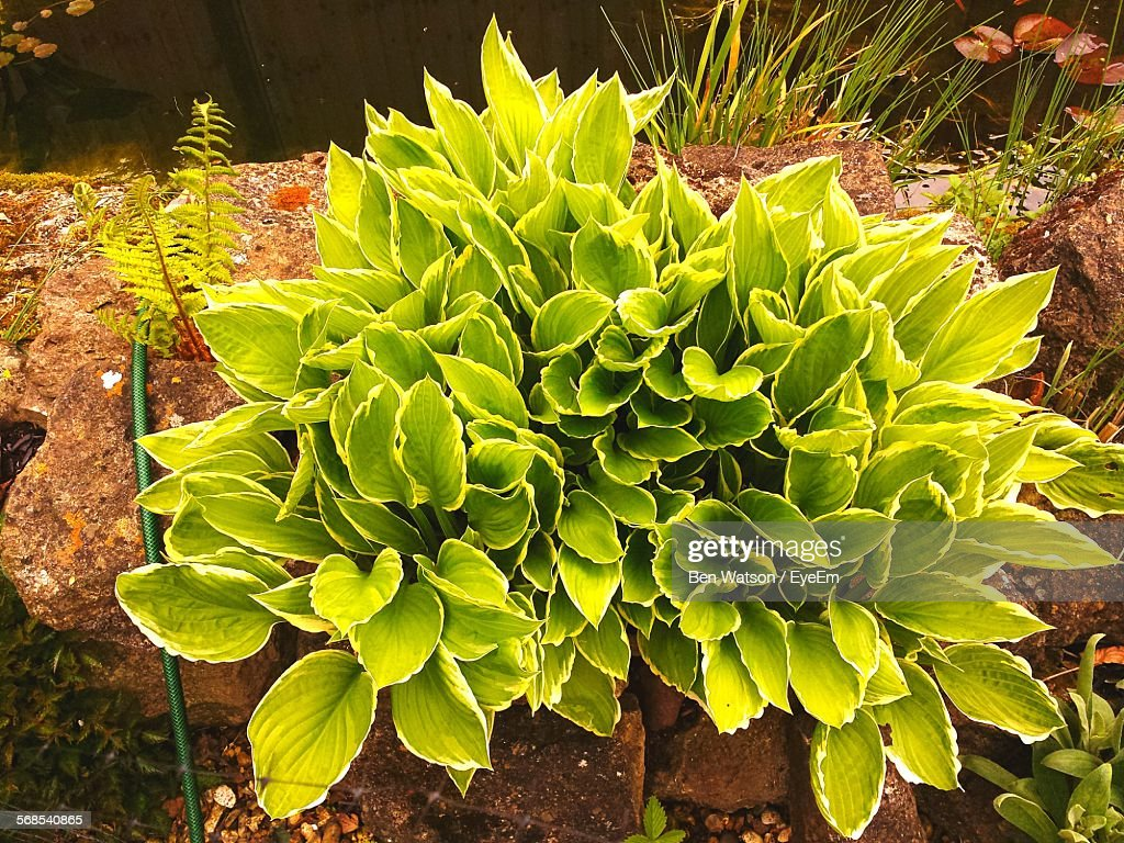 High Angle View Of Plants Growing By Pond : Stock Photo