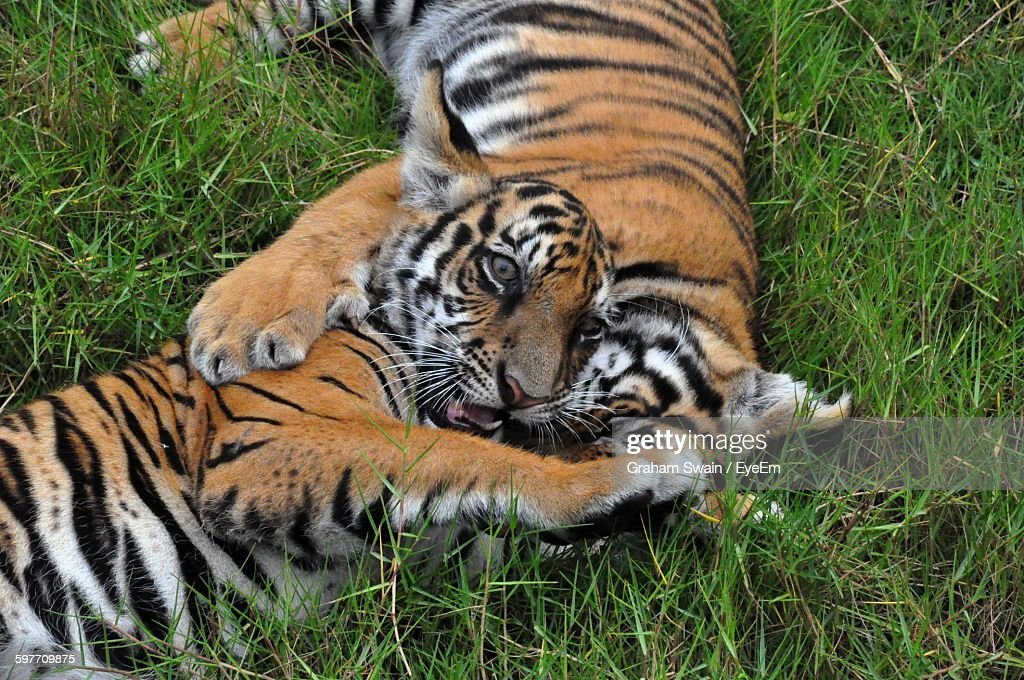 High angle view of playful cute tiger cubs on grass in zoo stock high angle view of playful cute tiger cubs on grass in zoo stock photo thecheapjerseys Image collections