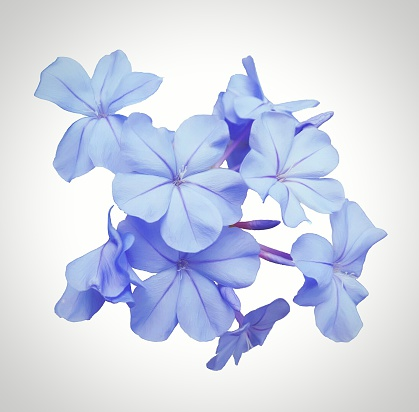 High Angle View Of Plumbago Flowers Against White Background - gettyimageskorea