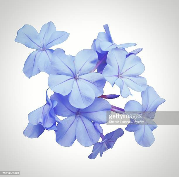 high angle view of plumbago flowers against white background - blütenblatt stock-fotos und bilder