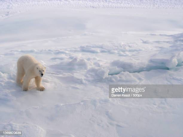 high angle view of polar bear swimming in sea, happy valley-goose bay, canada - pack ice stock pictures, royalty-free photos & images
