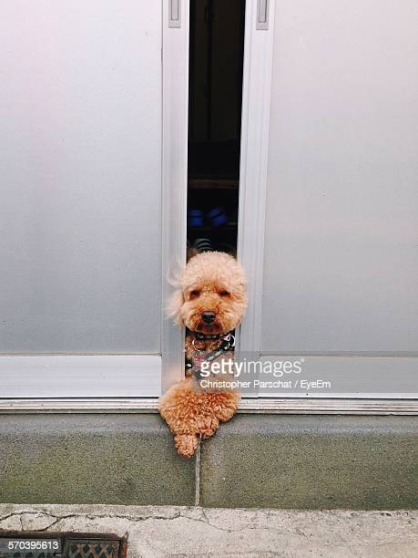 High Angle View Of Poodle Amidst Door