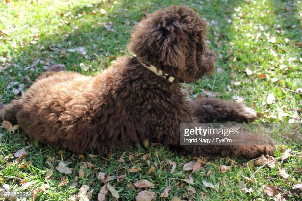 High Angle View Of Poodle Resting On Grassy Field