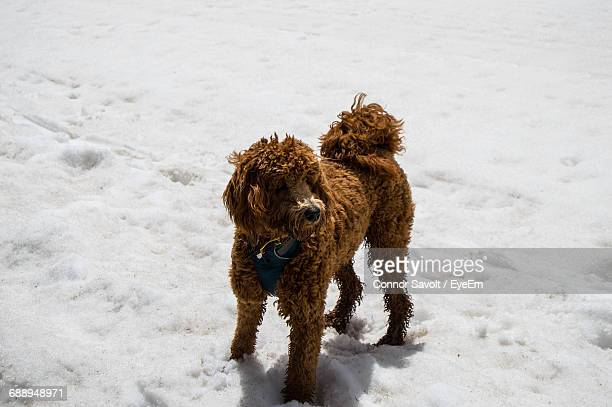 High Angle View Of Poodle Standing On Snow Covered Field