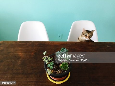 High Angle View Of Potted Plant On Table By Cat At Home
