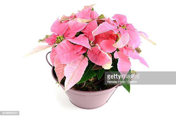 High Angle View Of Potted poinsettia Against White Background
