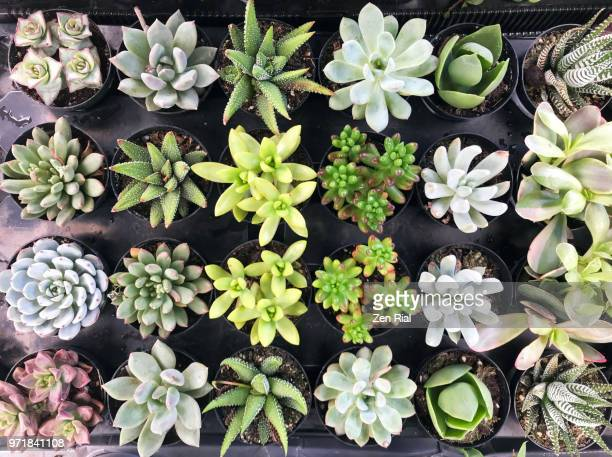 high angle view of potted succulents of different varieties for sale - succulents stock photos and pictures