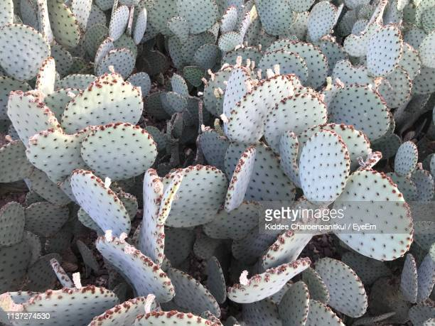 high angle view of prickly pear cactus - prickly pear cactus stock photos and pictures