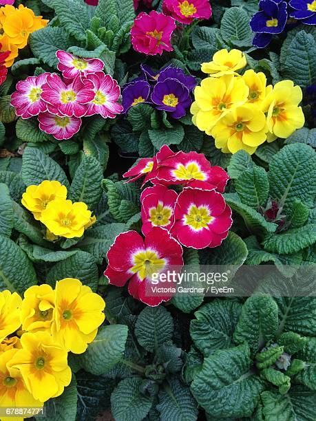 High Angle View Of Primula Flowers Blooming On Plants