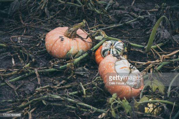 high angle view of pumpkins on field - animals in the wild stock pictures, royalty-free photos & images