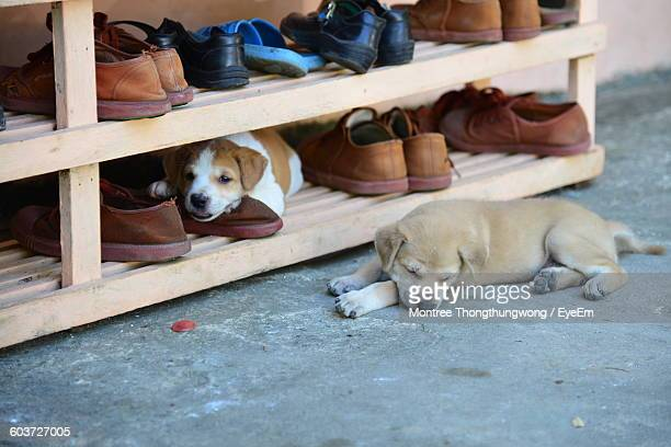 High Angle View Of Puppies Relaxing By Shoe Rack