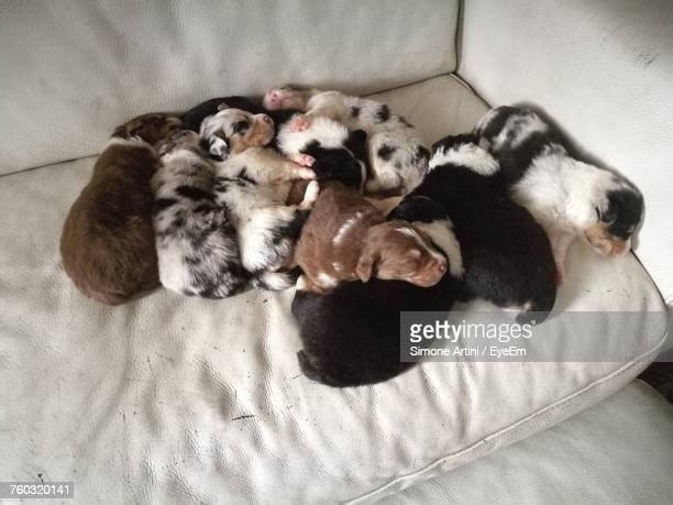 High Angle View Of Puppies Sleeping On Sofa At Home