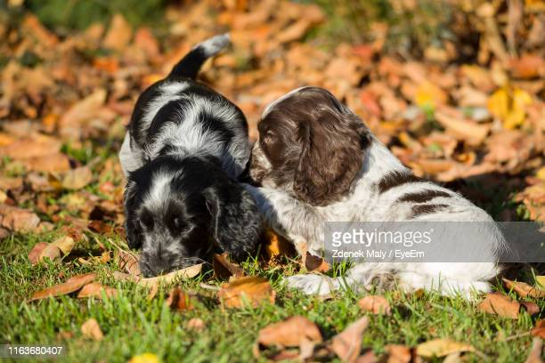 high angle view of puppy relaxing outdoors - spaniel stock pictures, royalty-free photos & images