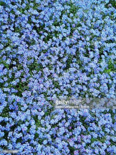high angle view of purple flowering plant on field - forget me not stock pictures, royalty-free photos & images